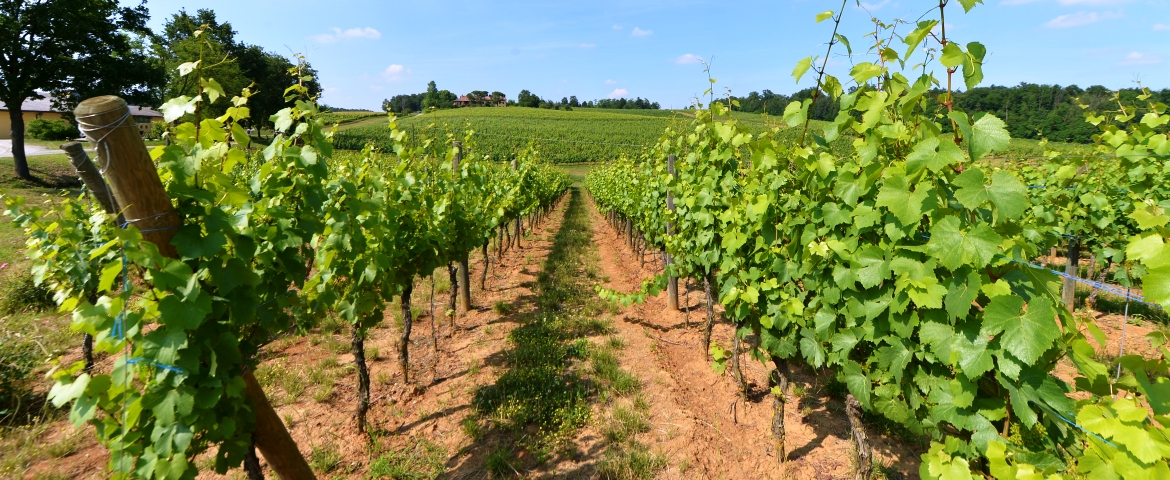 Grignolino vineyards on the hills of Monferrato